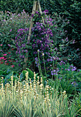 DARK Purple CLEMATIS On A WOODEN TRIPOD SURROUNDED by SISYRINCHIUM STRIATUM AND AGAPANTHUS. RHS WISLEY Garden, SURRY