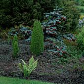 Juniperus communis compressa (Gewöhnlicher Wacholder), Acaena 'Blue Haze' (Stachelnüsschen), Abies procera 'Glauca Prostrata' (Edeltanne), Acaena inermis 'Purpurea' (Stachelnüsschen) als Bodendecker