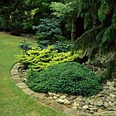 Beet mit verschiedenen Koniferen: Picea abies 'Little Gem' (Zwergfichte), Abies koreana (Koreatanne) flachgezogen mit frischem Austrieb , Abies procera 'Glauca' (Nobilistanne)