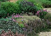 Saxifraga urbium (Steinbrech), Ajuga reptans atropurpurea (Kriechender Günsel), Thymus 'Silver Posie' (Thymian)