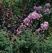 Phlox paniculata 'Sandringham' (Flammenblumen), Allium sphaerocephalon (Zierlauch), Knautia macedonica (Witwenblume)