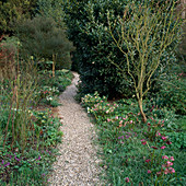 Helleborus orientalis (Lenzrose) entlang eines Kiesweges durch Frühlingsgarten