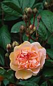 Rosa 'MAIDEN'S Blush'