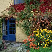 Hedera (Efeu), Vitis coignetiae (Korea Rebe), Dendranthema 'Cottage Apricot' u. 'Jante Wells'
