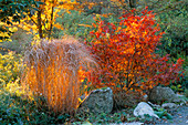 DAWN Light SHINES THROUGH GRASS AND A JAPANESE Maple at DOLWEN Garden,POWYS