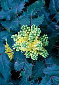 Gelbe Blüten von Mahonia aquifolium (Mahonie)