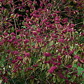 Violette Beeren von Callicarpa bodinieri var. giraldii (Liebes- perlenstrauch)