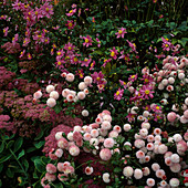 Sedum 'Carmen' (Fetthenne), Dendranthema 'Fairy Rose', Anemone x Hyb. 'Bressingham Glow'