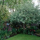 PYRUS SALICIFOLIA 'PENDULA' IN THE CORNER of A Garden IN MALVERN TERRACE, London