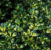 Ilex altaclerensis 'Lawsoniana' (Stechpalme)