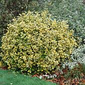 Euonymus 'Emerald'n' Gold' (Spindelstrauch)