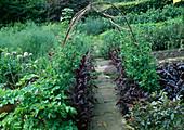 Gemüsegarten mit selbstgebautem Bogen als Rankhilfe für Lathyrus odoratus (Duftwicken), roter Amarant (Amaranthus), Pastinak (Pastinaca), blühende Zwiebeln (Allium cepa)
