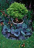 Kleines Rundbeet mit Rotkohl (Brassica) und Iris barbata (Schwertlilien), Topf mit Buxus harlandii (Buchs) in der Mitte
