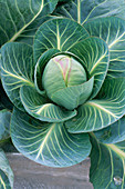 CLOSE UP of CENTRE of A CABBAGE 'JANUARY KING' PLANTED IN A GALVANIZED STEEL CONTAINER. THE Chef'S ROOF Garden, CHELSEA 1999.