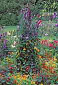 Tropaeolum AND Sweet PEAS CLAMBER OVER A WICKER TRIPOD at THE Rosendal Garden Festival IN Stockholm, SWEDEN