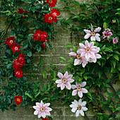 CLEMATIS NELLY MOSER. BEAR ASH Garden, Berkshire