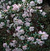 Rhododendron ciliatum x moupinense 'Cilpinense' (Zwerg - Alpenrose)