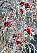 FROSTED HIPS of THE SPECIES ROSE 'ARTHUR HILLIER'. BROOK Cottage, OXFORDSHIRE