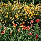 CROCOSMIA 'SOLFATERRE' AND ANTIRRHINUM (SNAPDRAGONS)