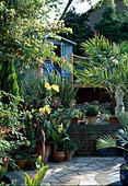 Lilium 'African Queen' und Canna unter der Innenhofbepflanzung mit blau angemaltem Schuppen