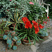 Cyranthus purpurea, Agave americana, Helichrysum, Dudleya farinosa, Echeveria in Töpfen