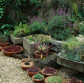 Sempervivum PANS AND ALPINE TROUGHS IN Hot GARDEN. TURN END, BUCKS