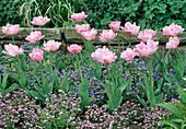 Myosotis (Vergißmeinnicht) und Tulipa 'Angelique' (Tulpen)