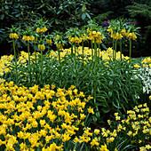 Fritillaria imperialis 'Lutea' und Narcissus 'Alliance'