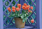 Tulipa 'Ad Rem' in Terracottatopf