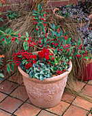 TERRACOTTA Pot PLANTED with COTONEASTER FRIGIDUS CORNUBIA, GAULTHERIA PROCUMBENS, SKIMMIA REEVESIANA AND CYCLAMEN with HAZELNUT Mulch