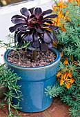 Blauer Topf mit Aeonium 'Zwartkop' neben Lotus berthelotii (Hornklee)