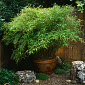 JAPANESE Garden with BAMBOO - FARGESIA MURIELIAE 'SIMBA' IN POT. DESIGN by NATURAL & ORIENTAL Water GARDENS. HAMPTON Court