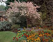 Gartenecke mit blühendem Malus floribunda / Apfelbaum und Beet mit verschiedenen Frühlingsblumen