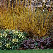 HELLEBORUS, BERGENIA AND THE Orange BRANCHES of Salix Alba VAR. VITELLINA. WOLFSON COLLEGE Garden, Oxford