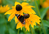 LATE SUMMER BORDER at HDRA RYTON Organic GARDENS, WARWICKSHIRE: Red Admiral Butterfly On RUDBECKIA 'Marmelade'