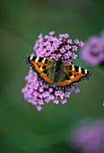 SMALL TORTOISESHELL Butterfly On Verbena BONARIENSIS