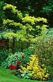 LAUNA SLATTER'S Garden, OXON: BORDER with EUONYMUS 'Emerald N Gold', ALCHEMILLA MOLLIS, PEONY OFFICINALIS 'RUBRA' AND ROBINIA 'FRISIA