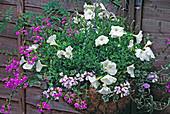 Hängekorb mit weisser Petunia (Petunie), Convolvulus sabatius (Blauer Maritius), Felicia amelloides (Kapaster), Scaevola (Fächerblume) und Pelargonium 'Elegante' (Geranie)