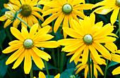 LATE SUMMER BORDER at HDRA RYTON Organic GARDENS, WARWICKSHIRE: RUDBECKIA 'IRISH EYES'