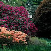 Rhododendron 'Old Port' Azalea mollis lachsorange