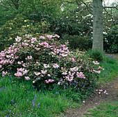 Rhododendron 'Temple Belle' (Alpenrose) unter Bäumen, verwilderte Scilla hyacinthoides (Hasenglöckchen)