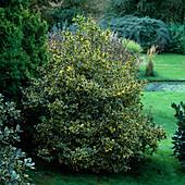 Ilex aquifolium 'Golden Queen' / Buntblättrige Stechpalme