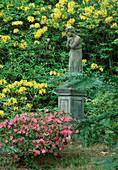 Japanische Azalee und Azalea pontica (Rhododendron luteum) 21504.2