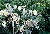 FROSTED SEED PODS of LUNARIA ANNUA VARIEGATA (VARIEGATED HONESTY) AND UNKNOWN FERN.