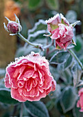 Rosa 'FELICIA' DUSTED with FROST. White WINDOWS, HAMPSHIRE.
