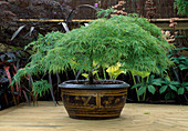 EASTERN PROMISE Garden, HAMPTON Court 2001: JAPANESE Maple IN Container On DECKING