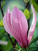 Magnolia soulangeana 'Nigra'