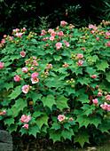 Rubus odoratus / Zimt-Himbeere (Garten Andre Heller)