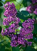 Syringa vulgaris / violetter, ungefüllter Flieder