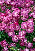 Rosa 'Veilchenblau' / stachellose, einmalblühende Ramblerrose mit